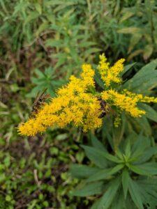 ragweed, wasp, wasps